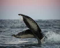 Whale Safari  - Vesteralen