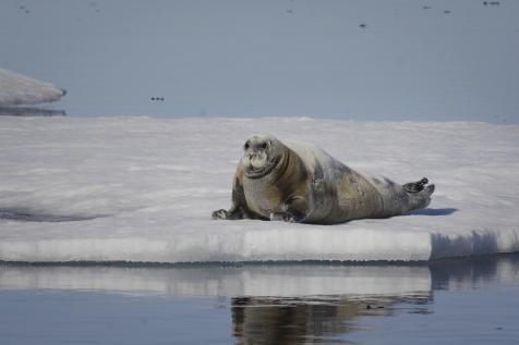 Bearded Seal On Ice