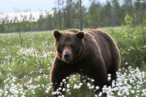 Brown Bear Adventue