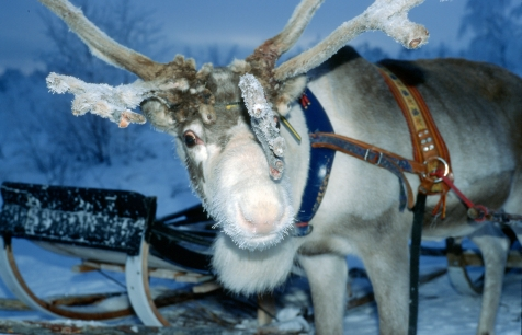 Reindeer in Harriniva