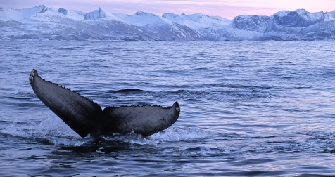 Search For Humpback & Killer Whales