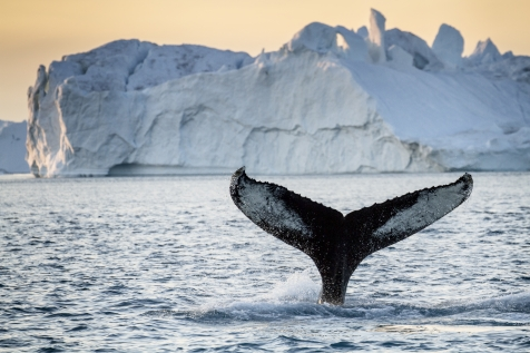 Whale Watching In West Greenland