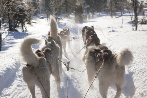 Husky Adventure Through The Lappish Winter Wilderness