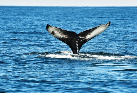 The Mighty Humpback Whale Near Husavik