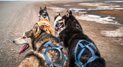 Dog Sledding On Wheels In The Arctic Wilderness