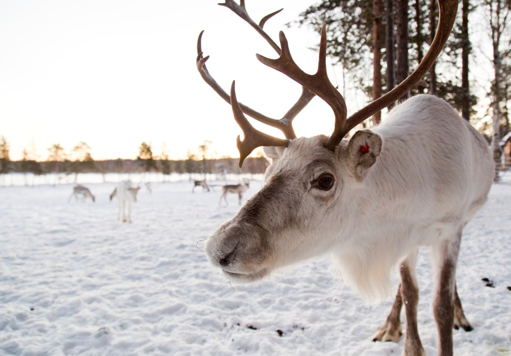 Lapland Holidays - Reindeer