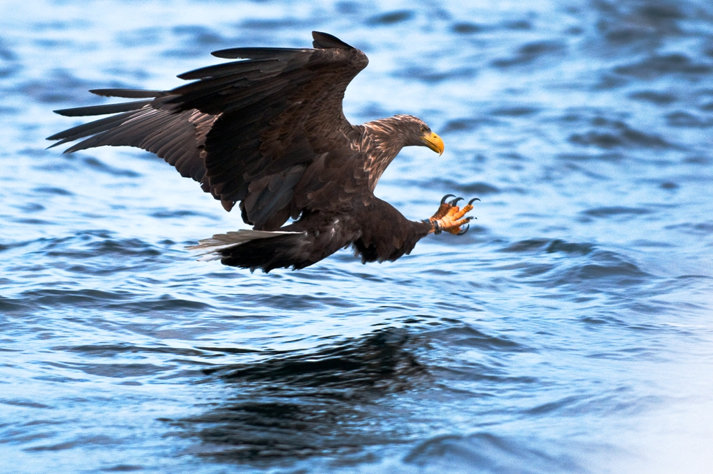 White-Tailed Eagle Vesteralen