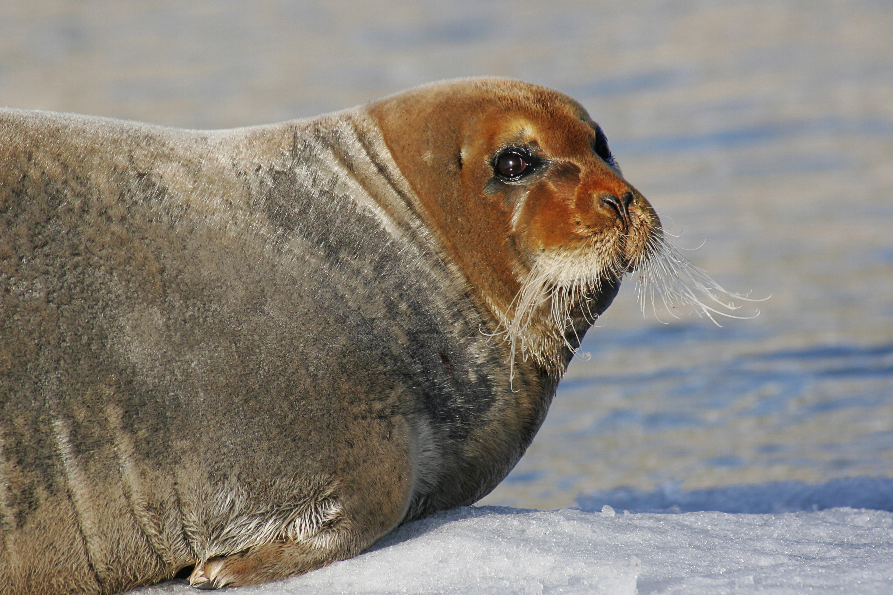 A Bearded Seal Nordic Experience