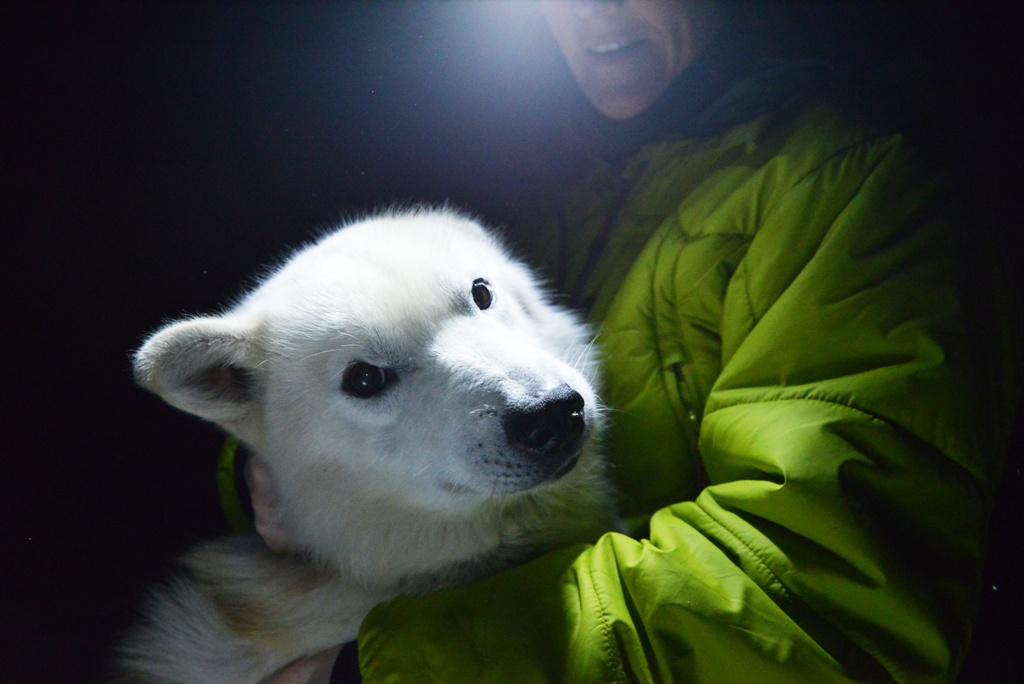 Huskies In Longyearbyen