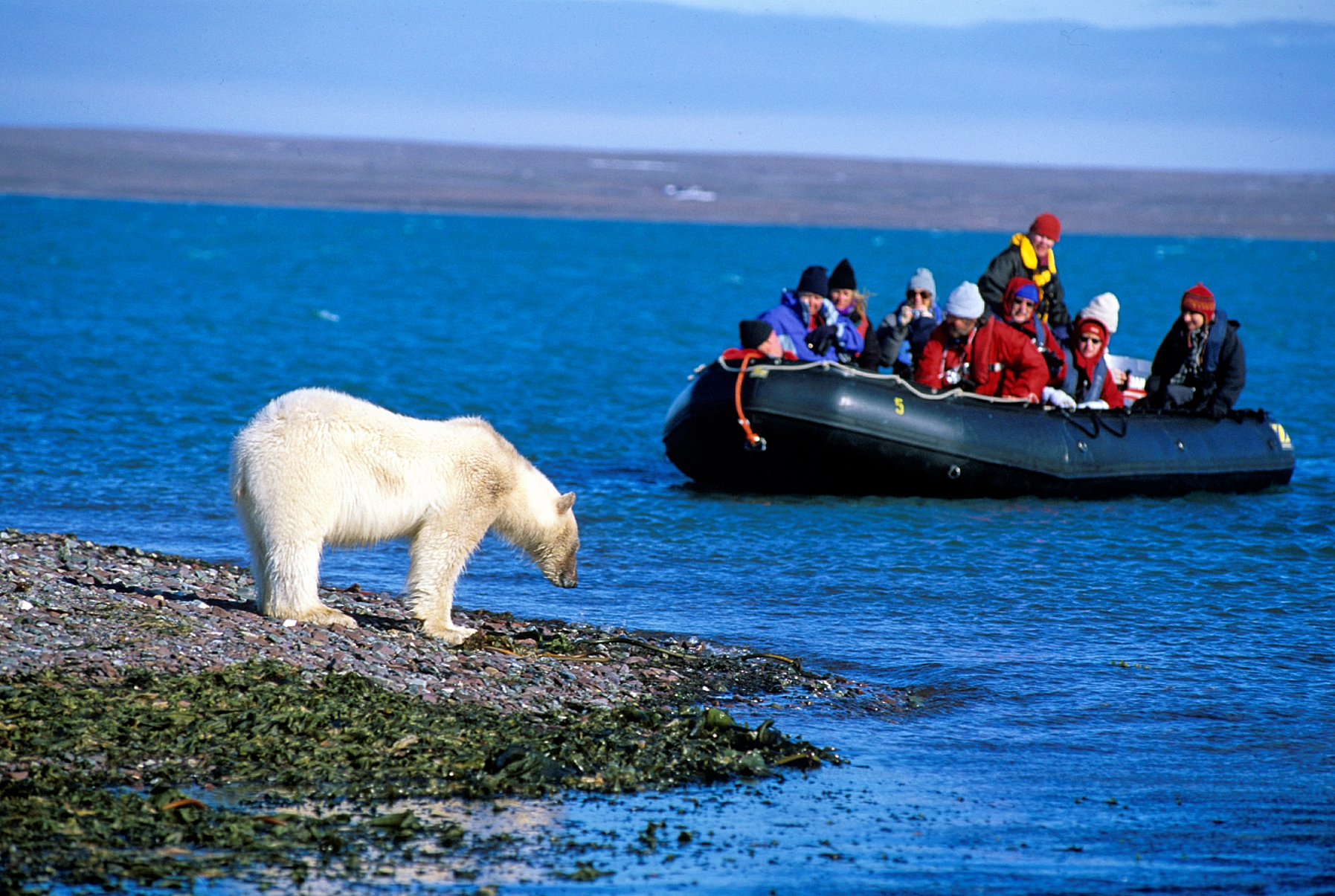 Polar Bear in Spitsbergen